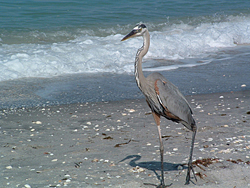 Crane on Venice Beach, Florida
